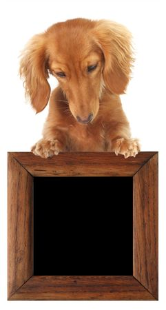 Dachshund puppy topper, looking down at your text or product.