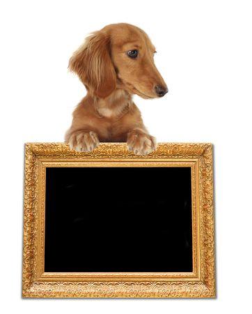 dachshund: Cute dachshund, studio isolated.