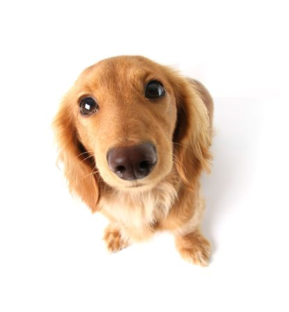 Funny little dachshund distorted by wide angle closeup. Focus on the eyes.  photo