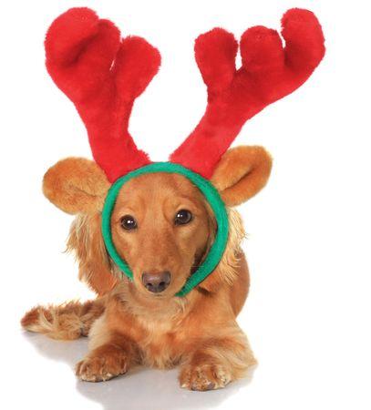 Little dachshund wearing a Christmas reindeer costume.  photo
