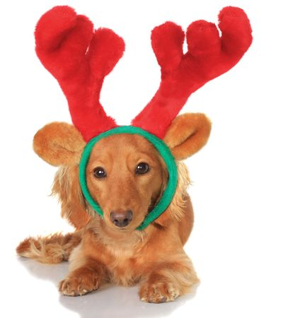christmas costume: Little dachshund wearing a Christmas reindeer costume.