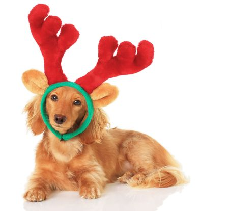 Little dachshund wearing reindeer antlers for Christmas.