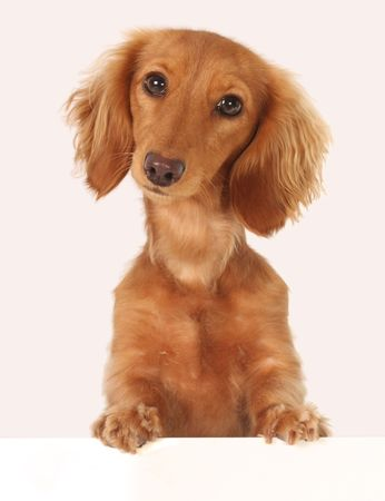 topper: Dachshund puppy topper. Stock Photo