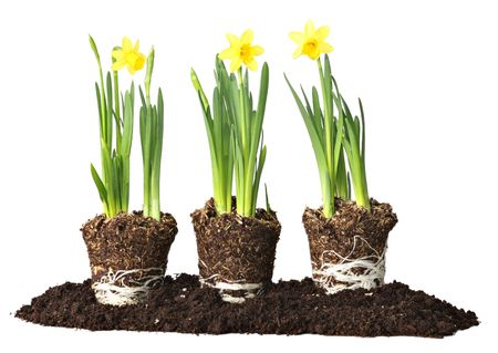 rooted: Daffodils, ready to be planted.