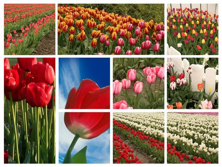 Tulip collage. Stock Photo - 4155787