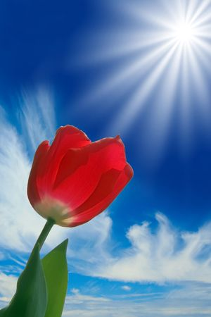 Beautiful bright red tulip glowing in the spring sunshine. Stock Photo - 4155781