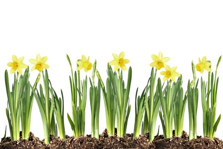 Row of daffodils isolated on white.