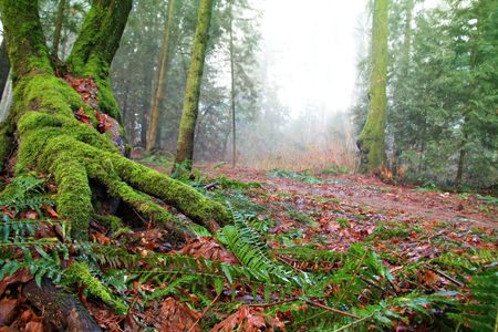 Old growth forest, Vancouver, Canada photo