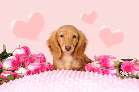 Dachshund puppy surrounded by roses and hearts for Valentines day.  photo