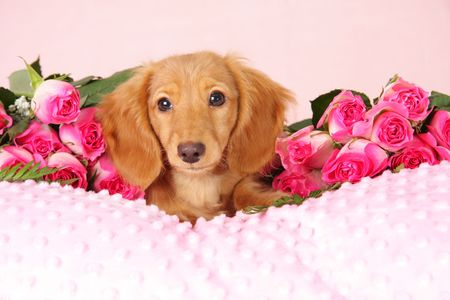 Dachshund puppy on a bed of roses photo