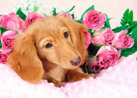 Dachshund puppy on a bed of roses.  photo