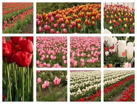 Tulip collage. Stock Photo - 4233425