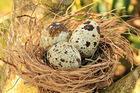Quails nest with three spotted eggs.