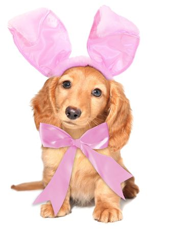 Easter bunny dachshund.  photo