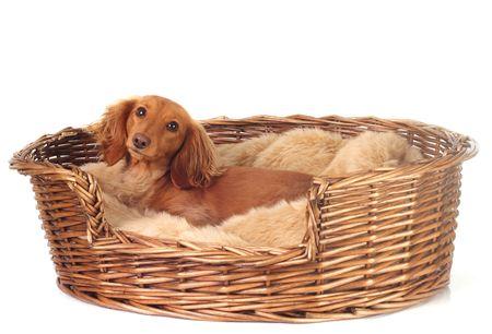 doxie: Dachshund in her basket.