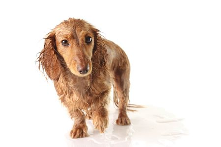 soggy: Soaking wet puppy, studio isolated.  Stock Photo