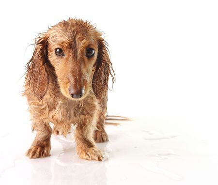 Soaking wet puppy looking very unhappy.