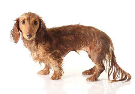 soaking: Soaking wet puppy, studio isolated.  Stock Photo