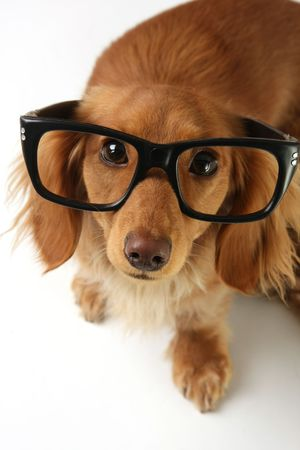 doxie: Smart dachshund wearing eyeglasses.