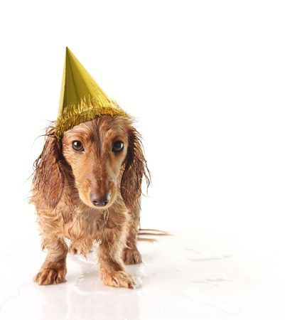 Soaking wet puppy looking very unhappy with a party hat.  photo