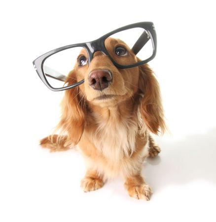 Dachshund with eyeglasses looking upwards.