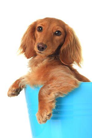 doxie: Dachshund puppy in a blue bucket.