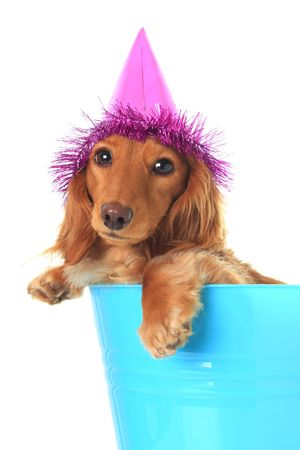doxie: Cute puppy wearing a party hat.