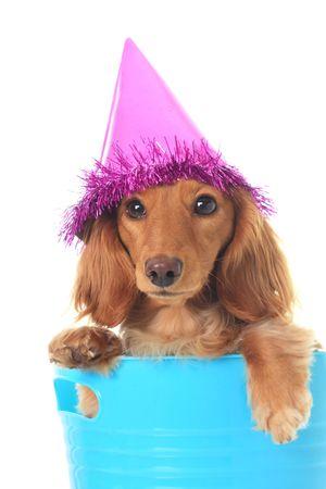 犬歯: ダックスフントのパーティの帽子をかぶっています。