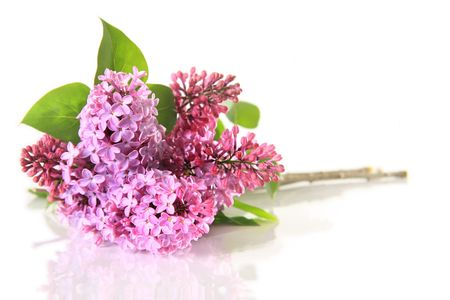 Beautiful lilacs, isolated on white.