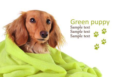 Dachshund puppy cozy under her green blanket.
