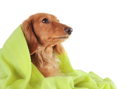 Bassotto cucciolo accogliente sotto il suo mantello verde. Archivio Fotografico - 4810546