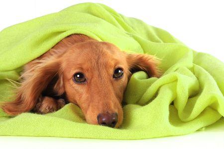 Bassotto cucciolo accogliente sotto il suo mantello verde. Archivio Fotografico - 4831432
