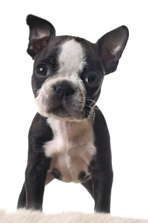 terriers: Boston terrier puppy, isolated on white.