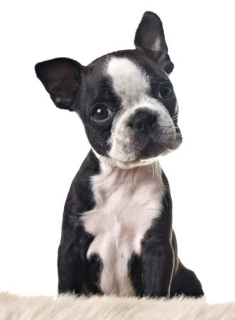 terrier: Boston terrier puppy, isolated on white.