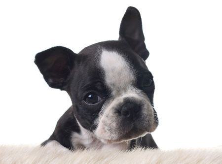 Boston Terrier puppy, isolated on white.