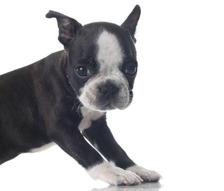 Boston Terrier puppy isolated on white. Stock Photo - 5162625