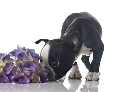 sniffing: Funny Boston Terrier puppy sniffing flowers. Stock Photo