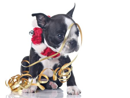boston terrier: Funny Boston Terrier puppy dressed up for Christmas and tangled up in ribbon. Stock Photo