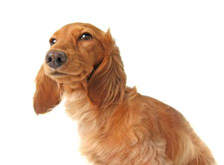Zieke hond met druppelende neus. Stockfoto - 5214543