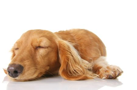 doxie: Sleeping long hair dachshund puppy