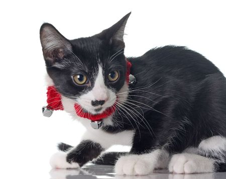 Cute kitten wearing her Christmas jingle bell collar. photo