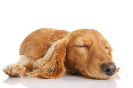 wiener dog: Sleeping long hair dachshund puppy