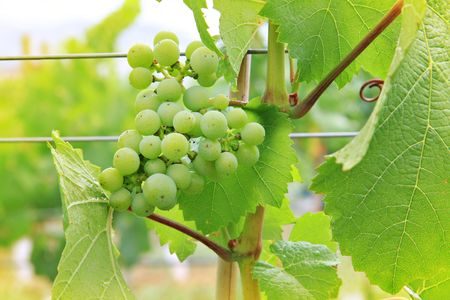 Green grapes in the vineyard.  photo