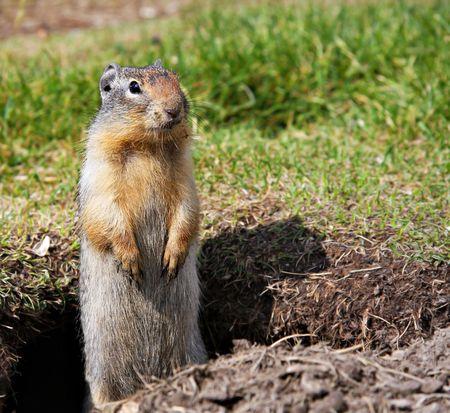 burrow: A marmot peeking out of its burrow.