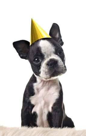 Boston terrier puppy, with party hat, solated on white. Stock Photo - 5338531