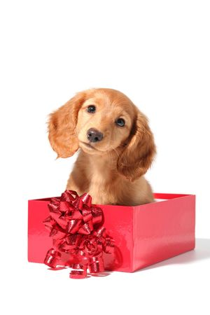 A dachshund puppy for Christmas! Stock Photo - 5524913