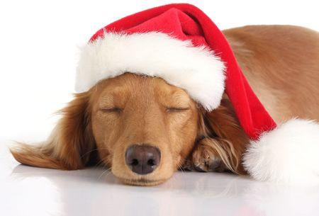 Dachshund dog sleeping with Santa hat. photo