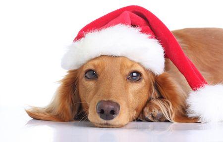 christmas costume: Dachshund dog with Santa hat.