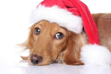 christmas costume: Dachshund dog in Santa hat.  Stock Photo