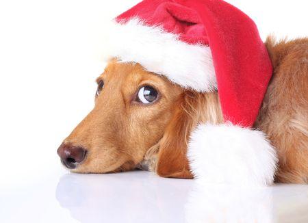 wiener dog: Dachshund dog in Santa hat.  Stock Photo